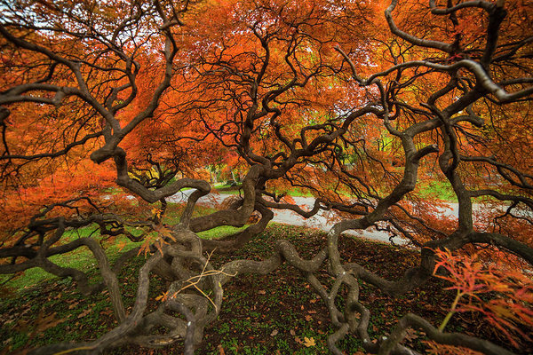 Toby McGuire - Mount Auburn Cemetery Beautiful Japanese Maple Tree Orange Autumn Colors Branches