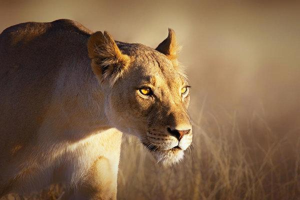 Lioness portrait-1 by Johan Swanepoel