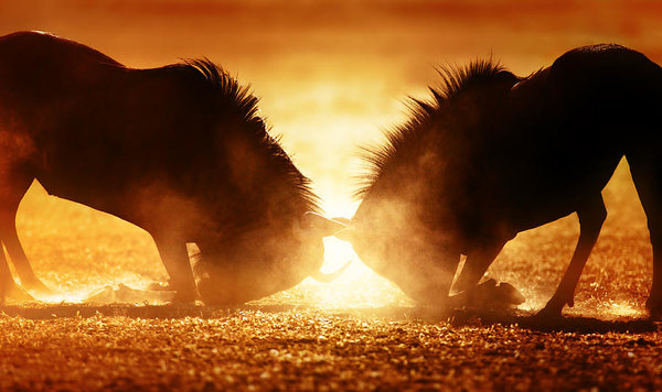 Johan Swanepoel - Blue wildebeest dual in dust
