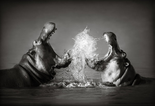 Johan Swanepoel - Hippo's fighting