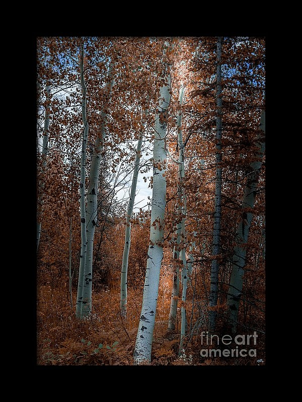 Blake Webster - Aspen Trees Ryan Park Wyoming