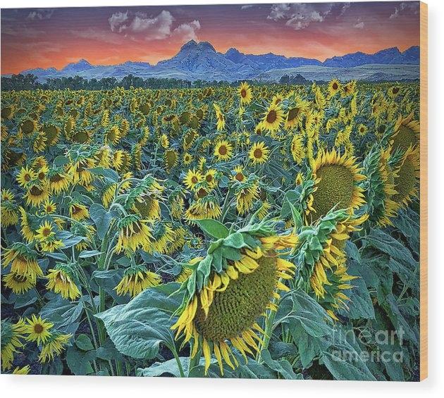 Michelle Zearfoss - Sunflowers and Sutter Buttes Crop