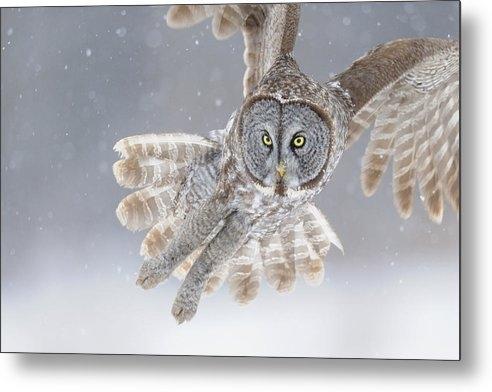 Scott  Linstead - Great Grey Owl in Snowstorm