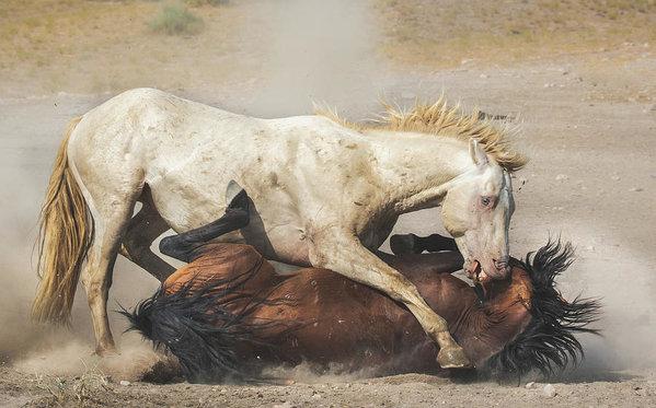 Jami Bollschweiler - Stallion Fighting