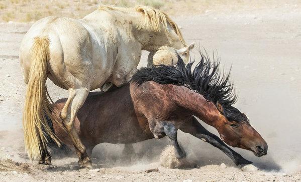 Jami Bollschweiler - Wild Stallions Fighting
