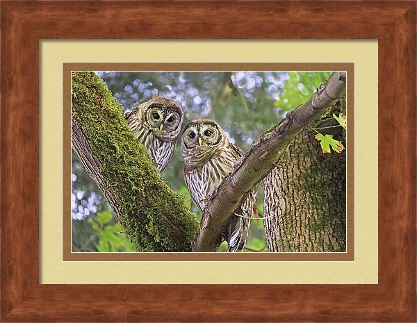 Curious Barred Owlets by Jennie Marie Schell