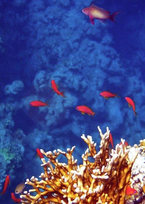 Beautiful Red Sea Anthias by Johanna Hurmerinta