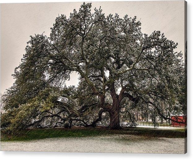 Snowfall on Emancipation Oak Tree by Jerry Gammon
