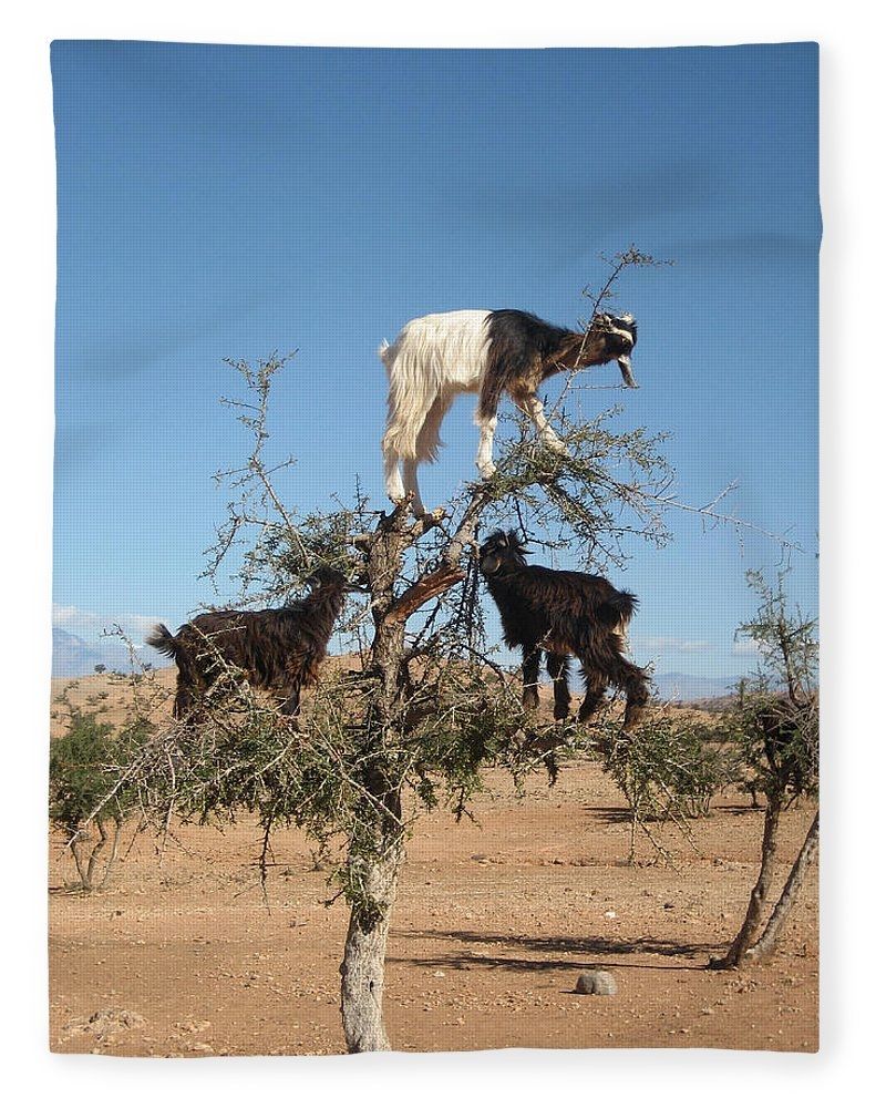 Goats in a tree by Steve Ball