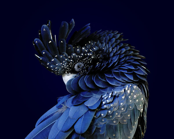 Studio Dalio - Fibonacci Cockatoo Art Print