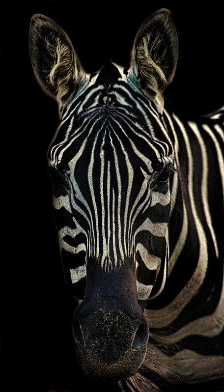 Zebra Portrait by Martin Newman