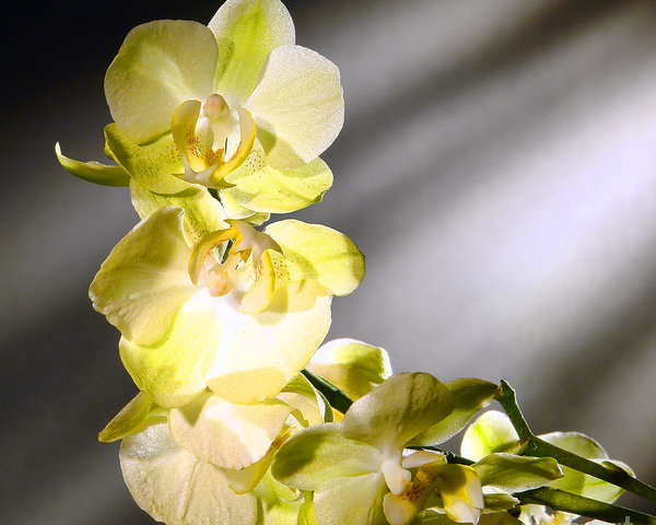 Orchid Flowers by Olivier Le Queinec