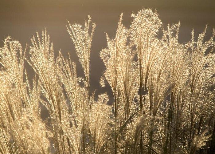 Chinese Silver Grass by Mary Ann Artz