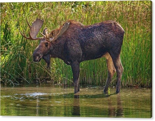 Bull Moose by David Sams