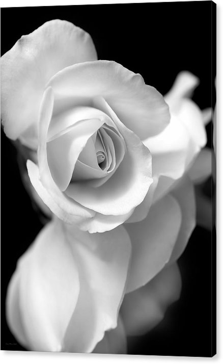 White Rose Petals Black and White by Jennie Marie Schell