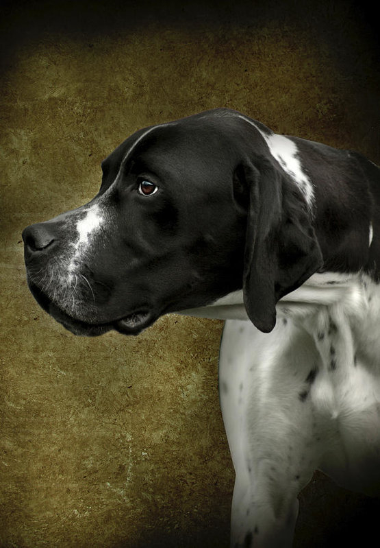 English Pointer Dog Portrait by Ethiriel Photography
