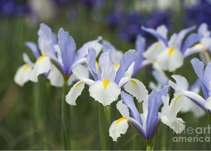 Dutch Iris Silver Beauty by Tim Gainey