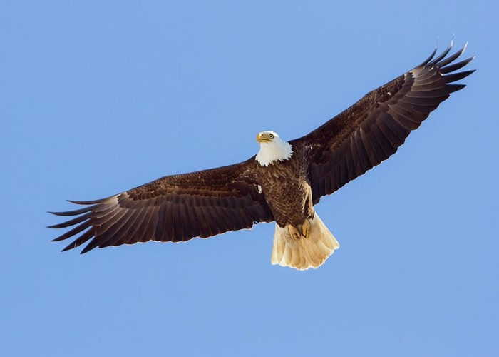 Adult Bald Eagle by Frode Jacobsen