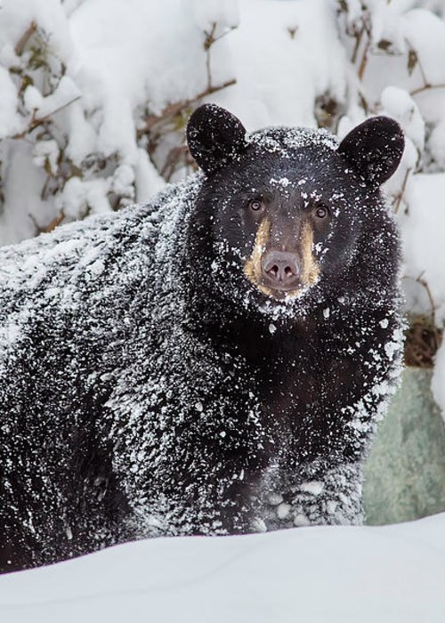 Snow Bear Stare Greeting Card