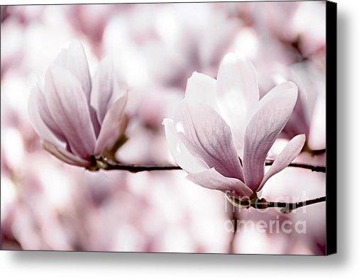 Elena Elisseeva - Pink Magnolia Print
