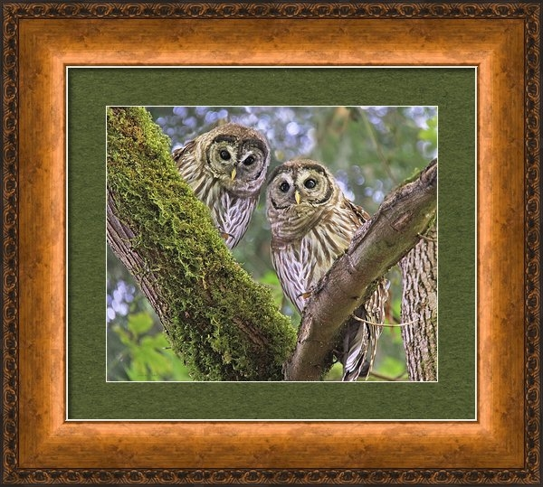 Jennie Marie Schell - Young Barred Owlets  Print