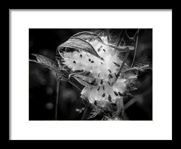Richard Chasin - Milkweed Burst Print