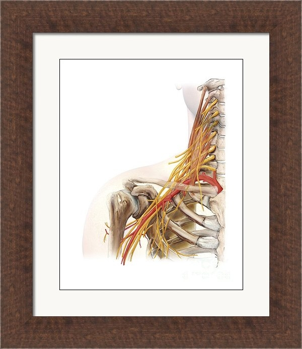 D & L Graphics - Right Shoulder And Nerve ... Print